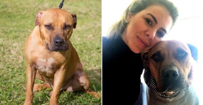 Finalmente família adota pitbull resgatado de 'rinha' e cão conhece o verdadeiro amor (SP) 5