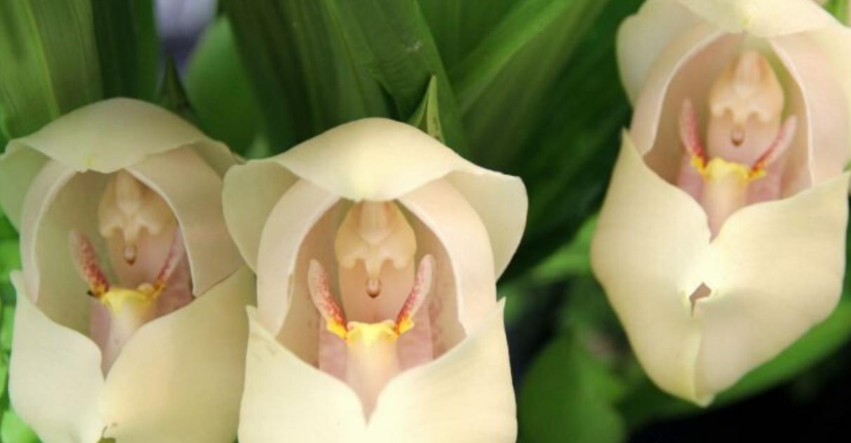 As incríveis orquídeas que parecem ter bebês dentro de suas pétalas 1