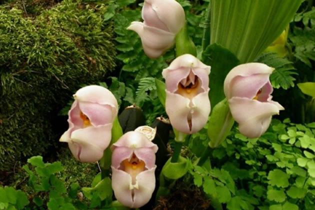 As incríveis orquídeas que parecem ter bebês dentro de suas pétalas 2