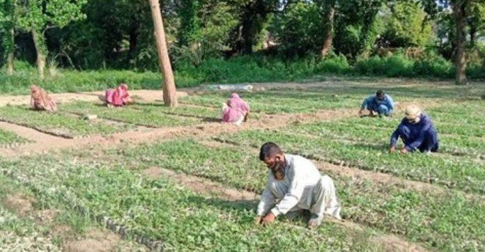 paquistão contrata desempregados covid-19 plantar árvores