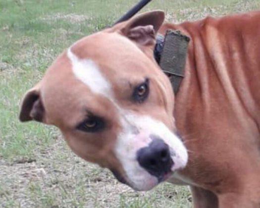 Finalmente família adota pitbull resgatado de 'rinha' e cão conhece o verdadeiro amor (SP) 6