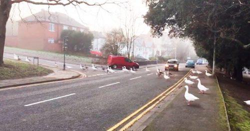 cisnes atravessando a rua