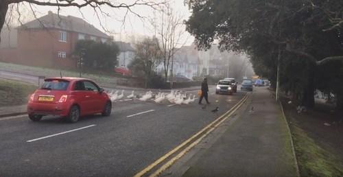 homem travessando a rua com cisnes