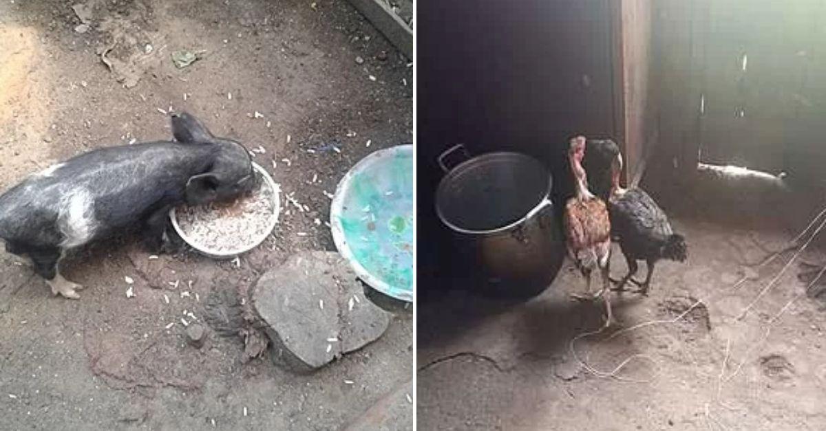 porco e galinhas