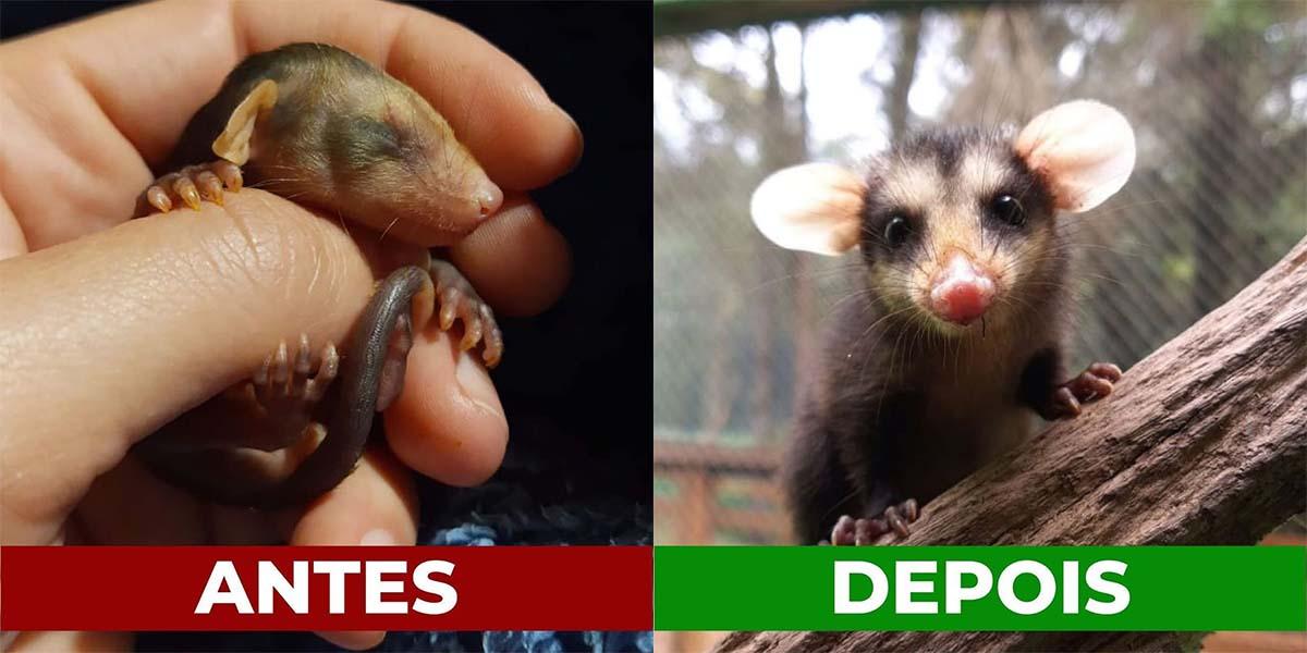 Antes e depois de animais resgatados