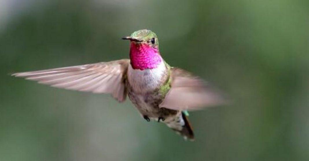 beija flor rosa voando