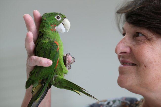 Veterinária segurando pássaro e analisando bico do papagaio após cirurgia