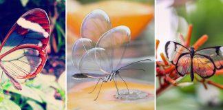 Borboleta de cristal transparente