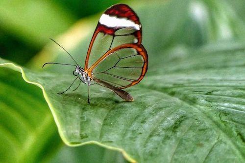 borboleta transparente na folha