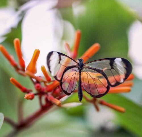 borboleta transparente folhas