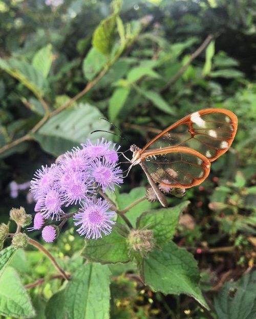 borboleta transparente florzinhas roxas