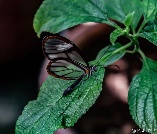 borboleta transparente folha molhada