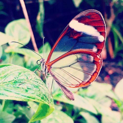 borboleta asas de vidro