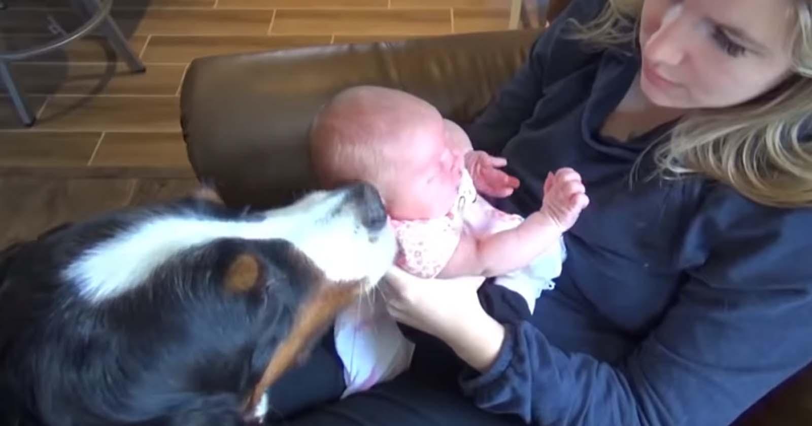 cães conhecendo bebes