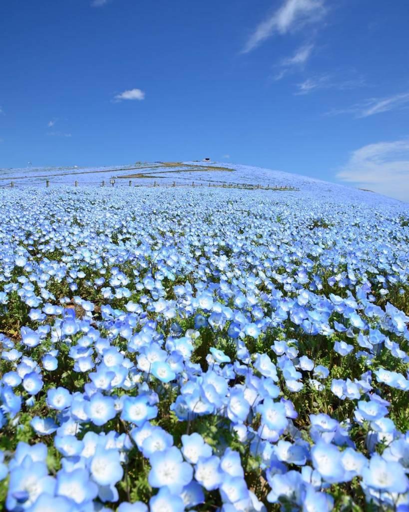 campo flores azuis parque japão