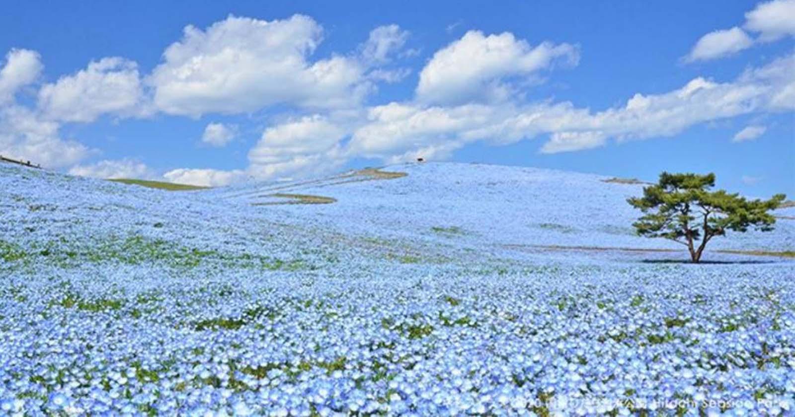 Mais de cinco milhões de flores azuis compõem paisagem deslumbrante no Japão 1