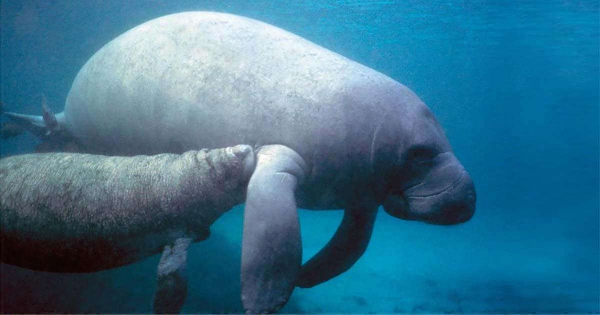 Espécie de peixe boi identificada por cientistas brasileiros