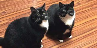 Dois gatos idênticos