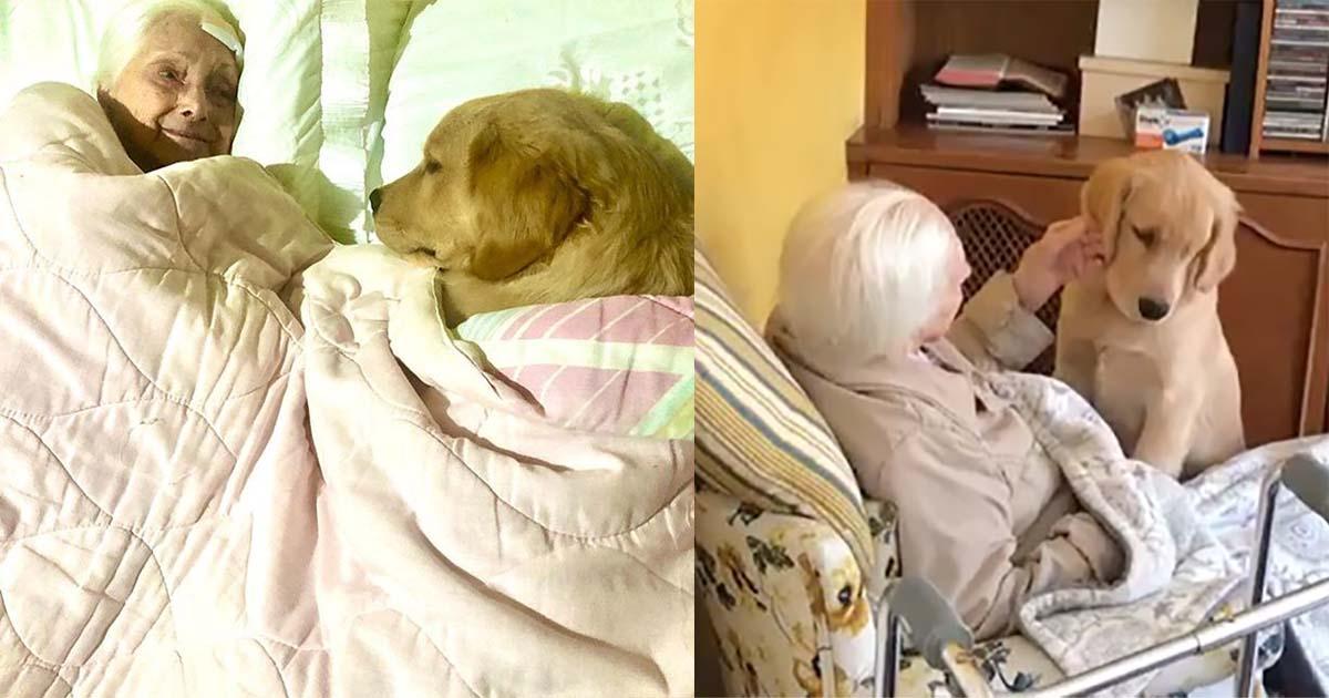 Melhor babá do mundo! Golden retriever de 5 meses cuida de bisavó de 100 anos 1