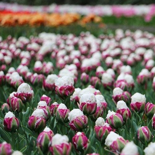 jardim de tulipas