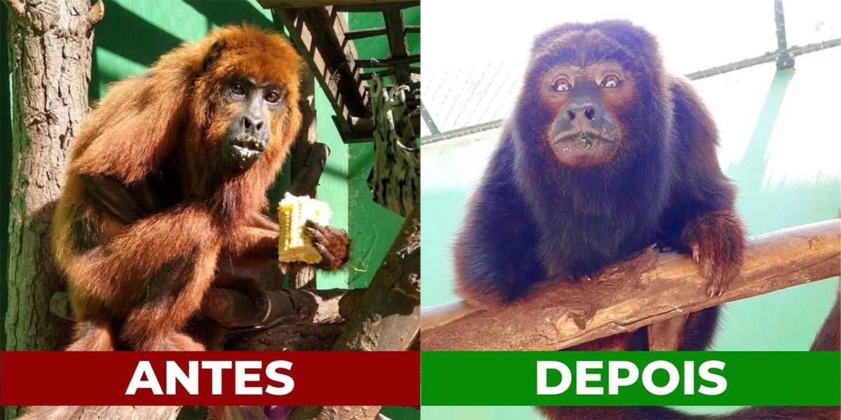 Antes e depois do macaco resgatado