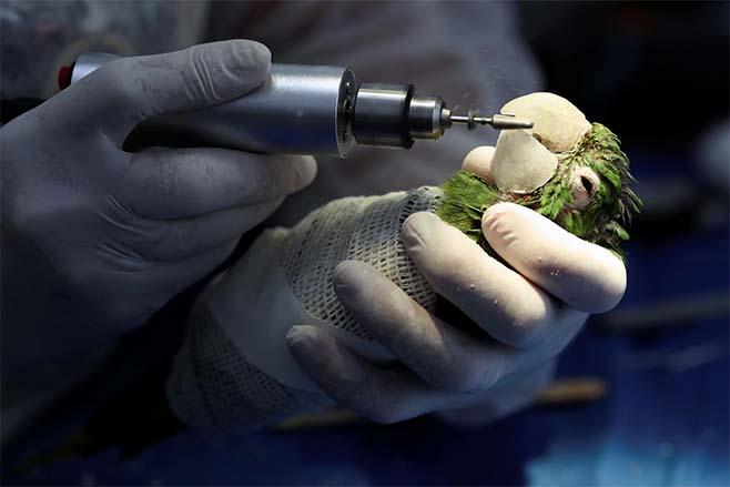 Passarinho cirurgia prótese resina no bico