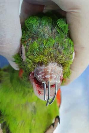 Pássaro com bico quebrado e fios metálicos implantados no osso para implantar prótese