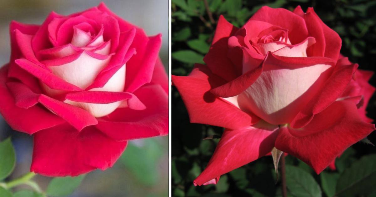 duas rosas osiria