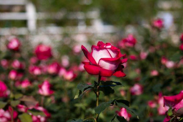 rosa osiria solo no jardim