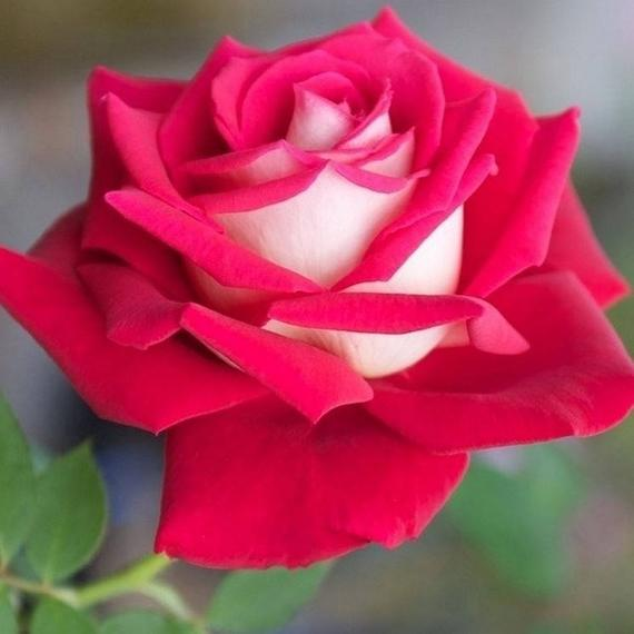 rosa osiria no jardim