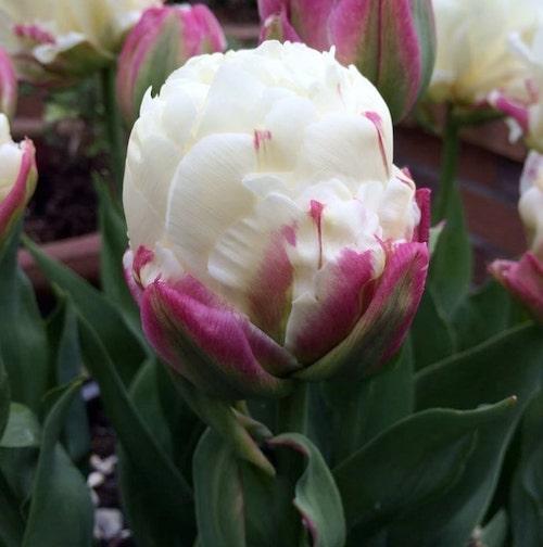 sorvete de tulipa rosa