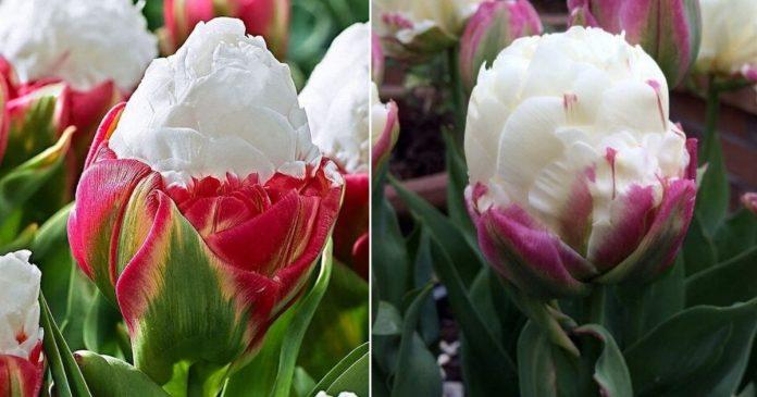 Tulipa sorvete: a flor que parece comestível e dá fome nas pessoas 1