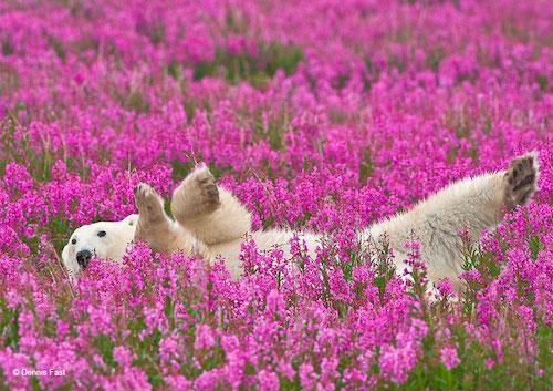 urso polar flores 1