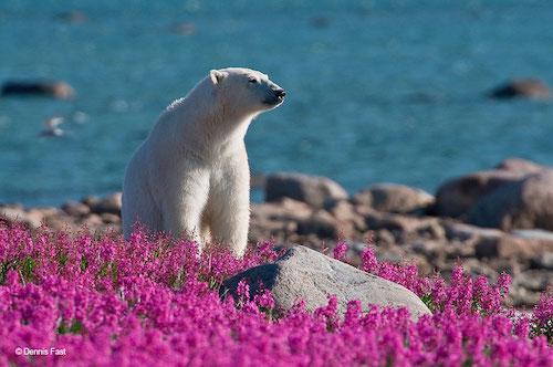 Fotógrafo encanta com registros de urso polar brincando em campo de flores 6