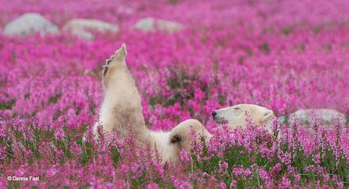 urso polar flores 2