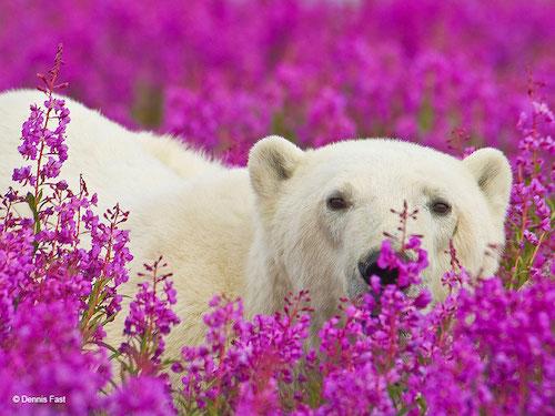 urso polar flores 3