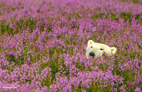 urso polar flores 4