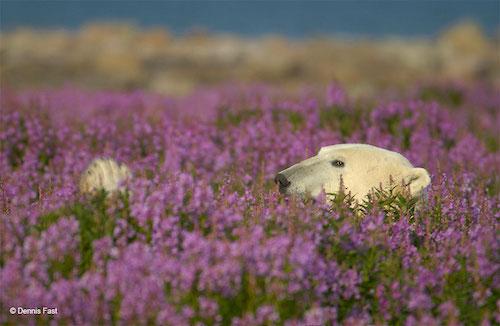 Fotógrafo encanta com registros de urso polar brincando em campo de flores 2