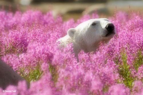 Fotógrafo encanta com registros de urso polar brincando em campo de flores 3