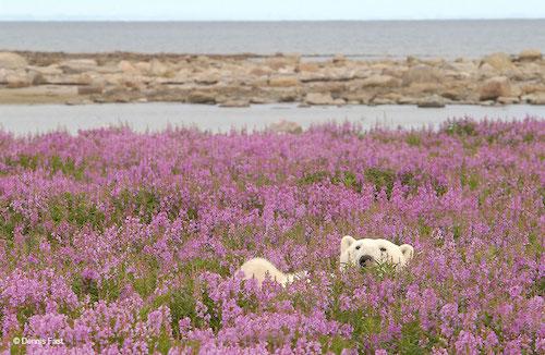 Fotógrafo encanta com registros de urso polar brincando em campo de flores 4