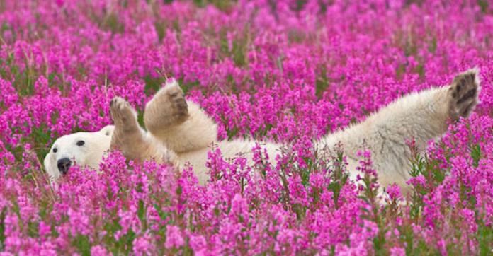 Fotógrafo encanta com registros de urso polar brincando em campo de flores 7