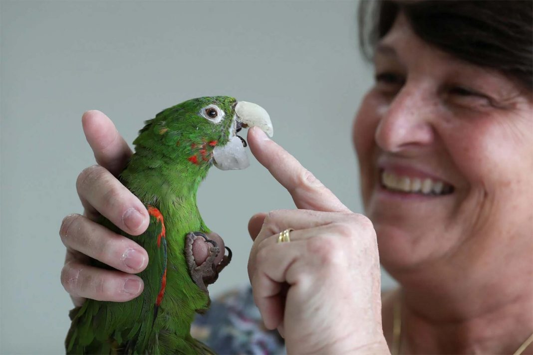 Veterinária satisfeita após cirurgia no bico do papagaio