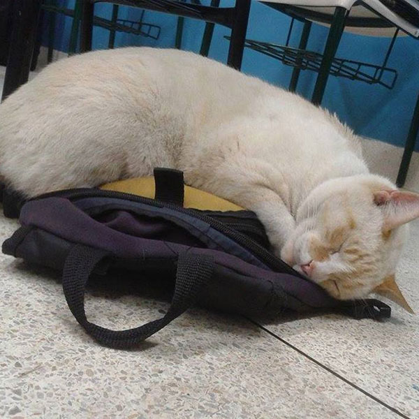 gato branco dormindo