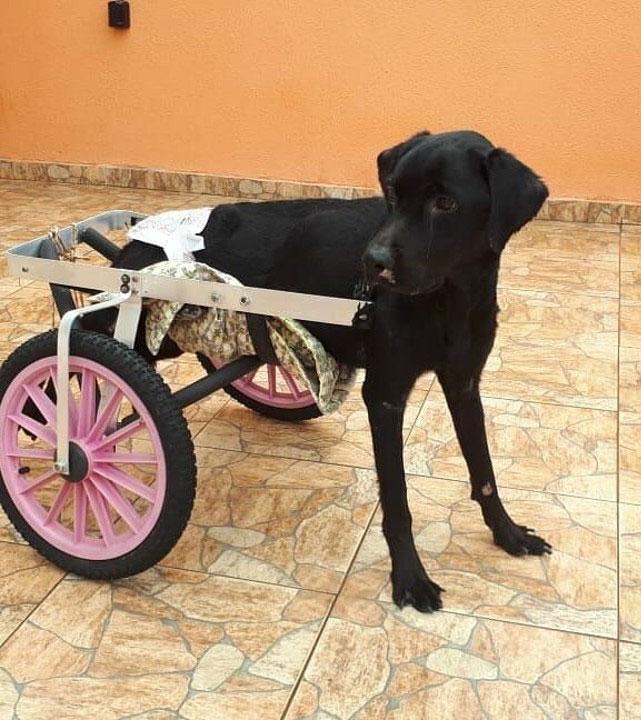 cachorro cadeira rodas