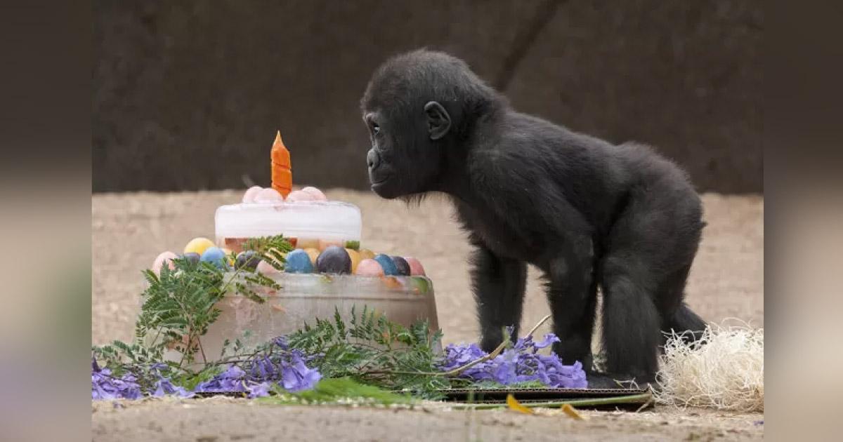 Bebê gorila ganha bolo de aniversário do Zoológico onde vive, em Atlanta (EUA) 1