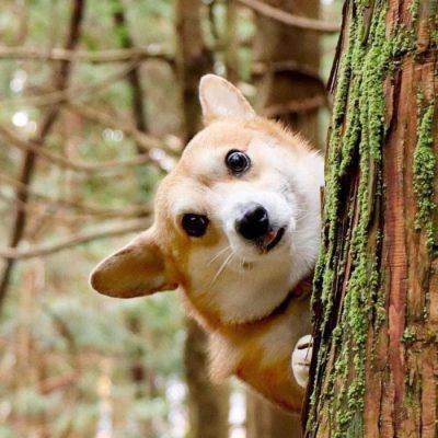 Gen, um cão da raça corgi, vem ganhando a internet com suas caras e bocas 30