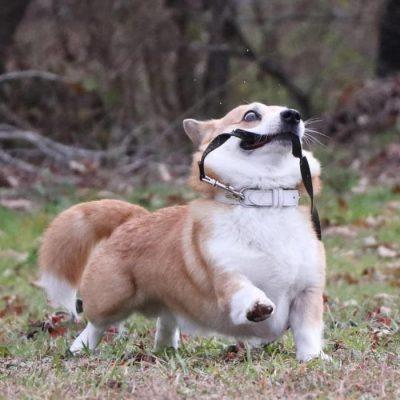 Gen, um cão da raça corgi, vem ganhando a internet com suas caras e bocas 27