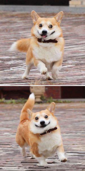 Gen, um cão da raça corgi, vem ganhando a internet com suas caras e bocas 5