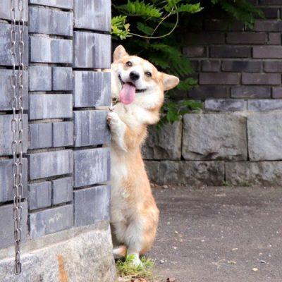 Gen, um cão da raça corgi, vem ganhando a internet com suas caras e bocas 26