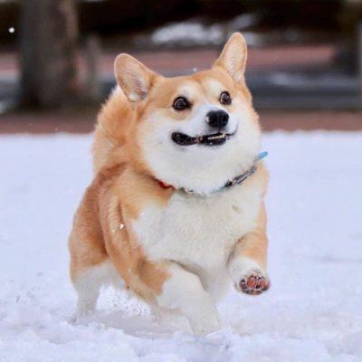 Gen, um cão da raça corgi, vem ganhando a internet com suas caras e bocas 23
